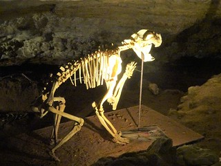 Naracoorte. Reconstructed skeleton from fossil bones of an ancient kangaroo. In the Victoria fossil cave at Naracoorte.