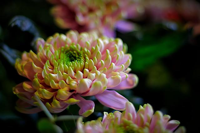 Green-pink Chrysanthemum