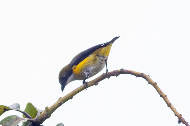 Yellow-sided Flowerpecker