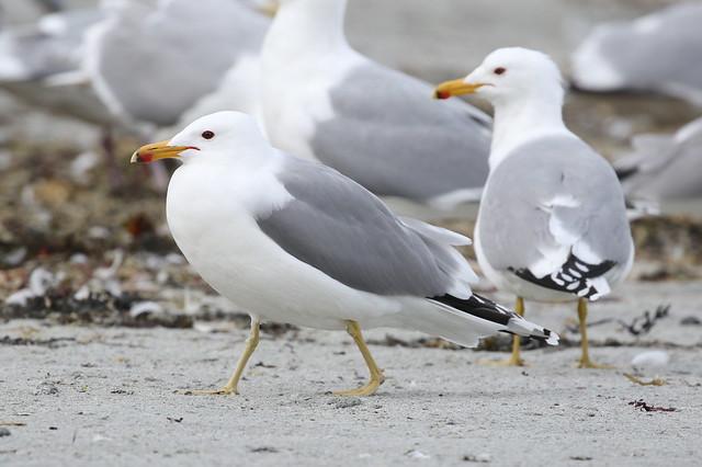 California Gulls - French Creek, Parksville BC