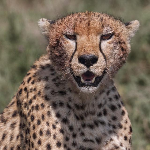 International Cheetah Day - December 4th, 2019