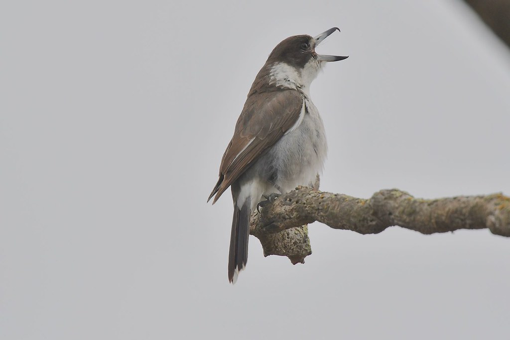 Grey Butcherbird ( In full song )