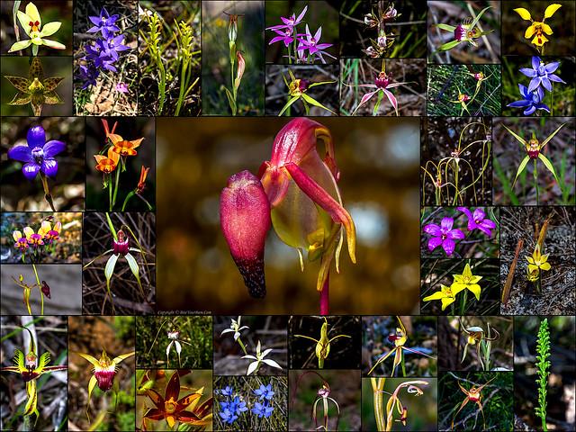 WA Native Orchid Collage 2019