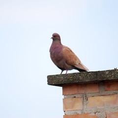Colourful Pigeon