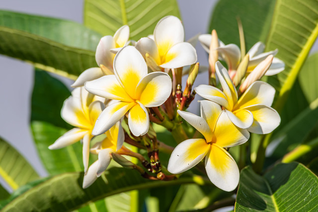 Yellow and White Frangipani Flowers under a Smoke Filled Sky