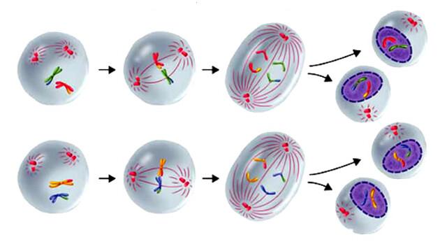 meiosis3