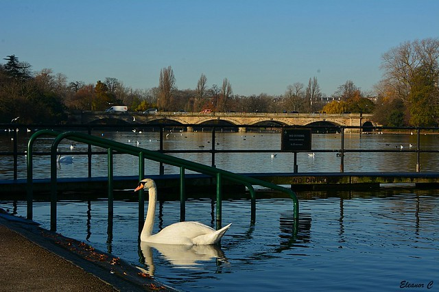 Swimming in The Serpentine