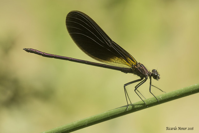Calopteryx haemorrhoidalis. Adult male.