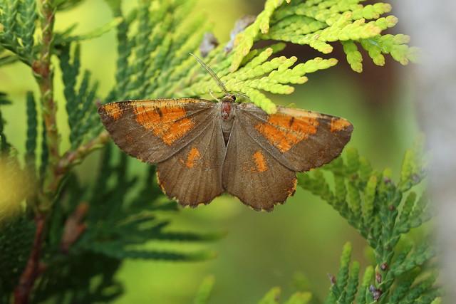 70.230 Orange Moth (Angerona prunaria), Great Breach Wood, Somerset