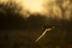 Short Eared Owl  (由  Benjamin Joseph Andrew