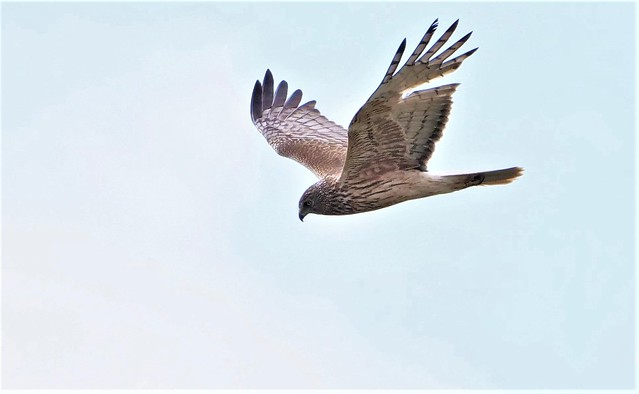 Swamp Harrier  M