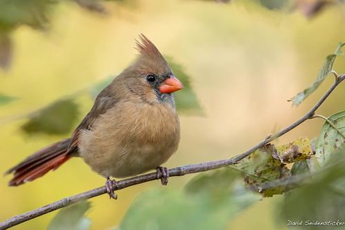 Cardinal female [explored]