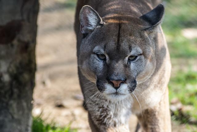 close-up portrait of a large puma