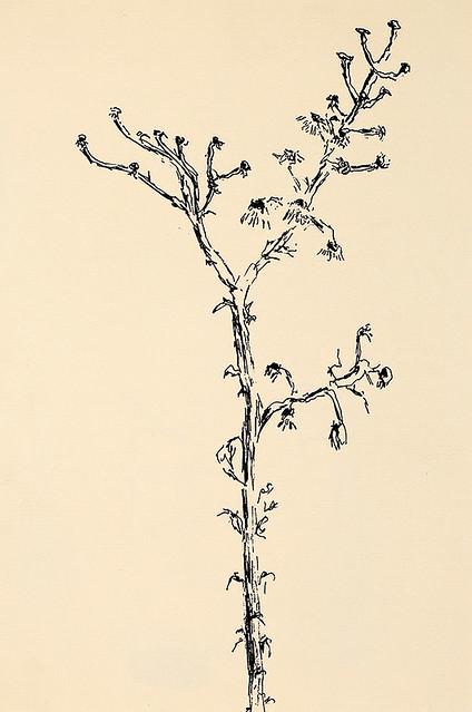 רישומי פרחים פרח רישום עכשווי מודרני ישראלי רישומים ישראלים עכשווים מודרניים רפי פרץ raphael perez רשם הרישום הרישומים