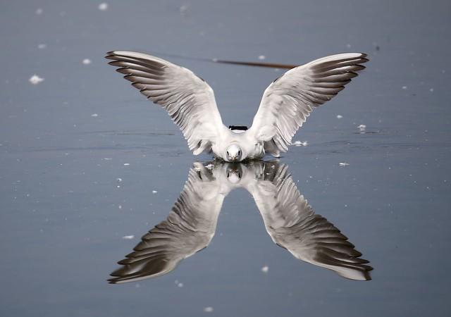 Larus ridibundus reflection...