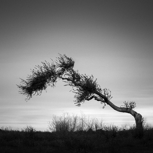 hasselblad rockport texas usa blackandwhite image landscape minimal minimalism oaktree photo photograph squareformat tree f71 mabrycampbell march 2019 march162019 20190316rockportcampbellb0002951 80mm ¹⁄₁₀₀sec iso100 hc80 fav10 fav20