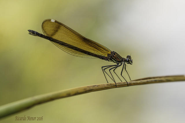 Calopteryx haemorrhoidalis. Female.