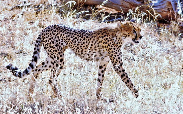 International Cheetah Day (Acinonyx jubatus)
