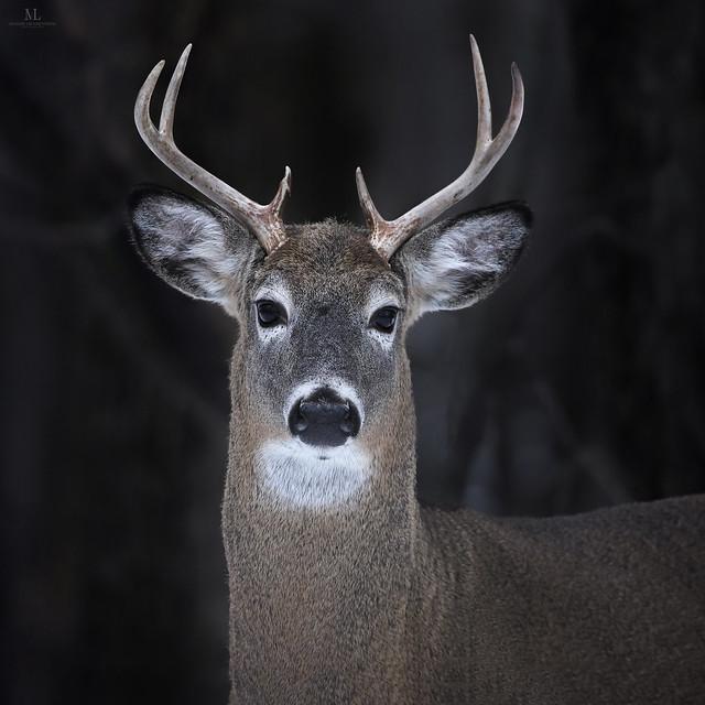 White-tailed deer - Cerf de Virginie - Odocoileus virginianus