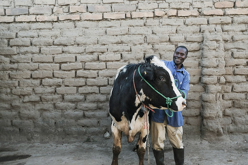May/2019 - Mbeya, Tanzania_ Lukas Mwambona with his bull, Mkombozi, a superior crossbreed identified through genomic and historic performance data gathered by scientists from the Interntional Livestock Research Institute and partners. Photo K. Dhanji/ILRI