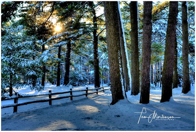 Snow-covered Pines