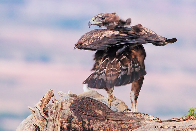 Aguila Real (Aquila chrysaetos)