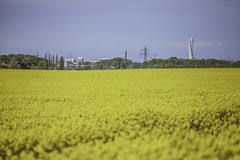 Rapeseed Skåne  and Turning Torso