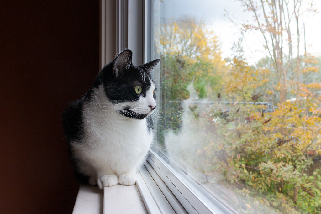 Our cat Boo quietly looks out from the window sill of the picture window of the dining room, taken in Portland, Oregon on Halloween in October 2014