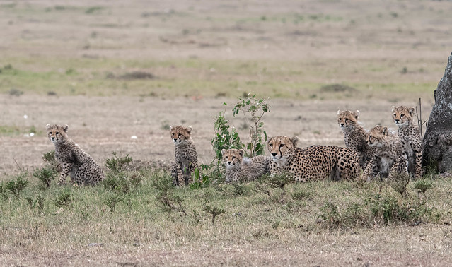 Kisaru and her six cubs