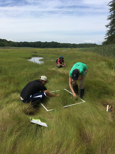 Lawrence and her field crew quantify wetland vegetation and collect soil and biomass samples in twenty Connecticut wetlands to investigate how tidal restoration and vegetation zones affect carbon storage and nitrogen removal from coastal wetlands.