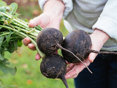 Fresh black radishes