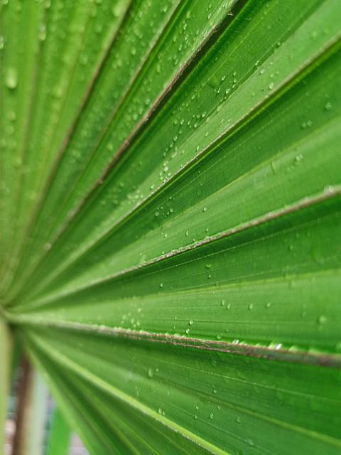 Palmier à jupon, Pairi Daiza
