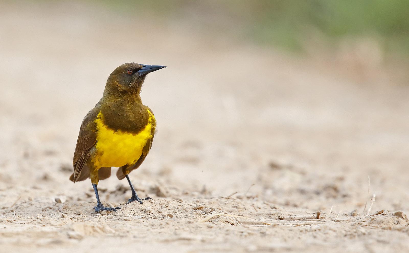 Brown and Yellow Marshbird