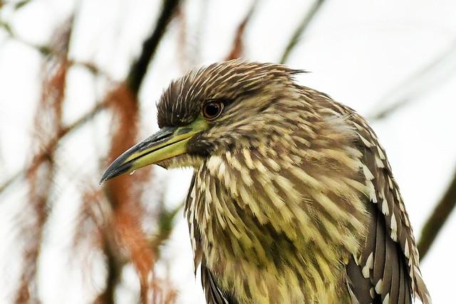 Bihoreau gris juvénile - Nycticorax nycticorax - Juvenile black-crowned night heron