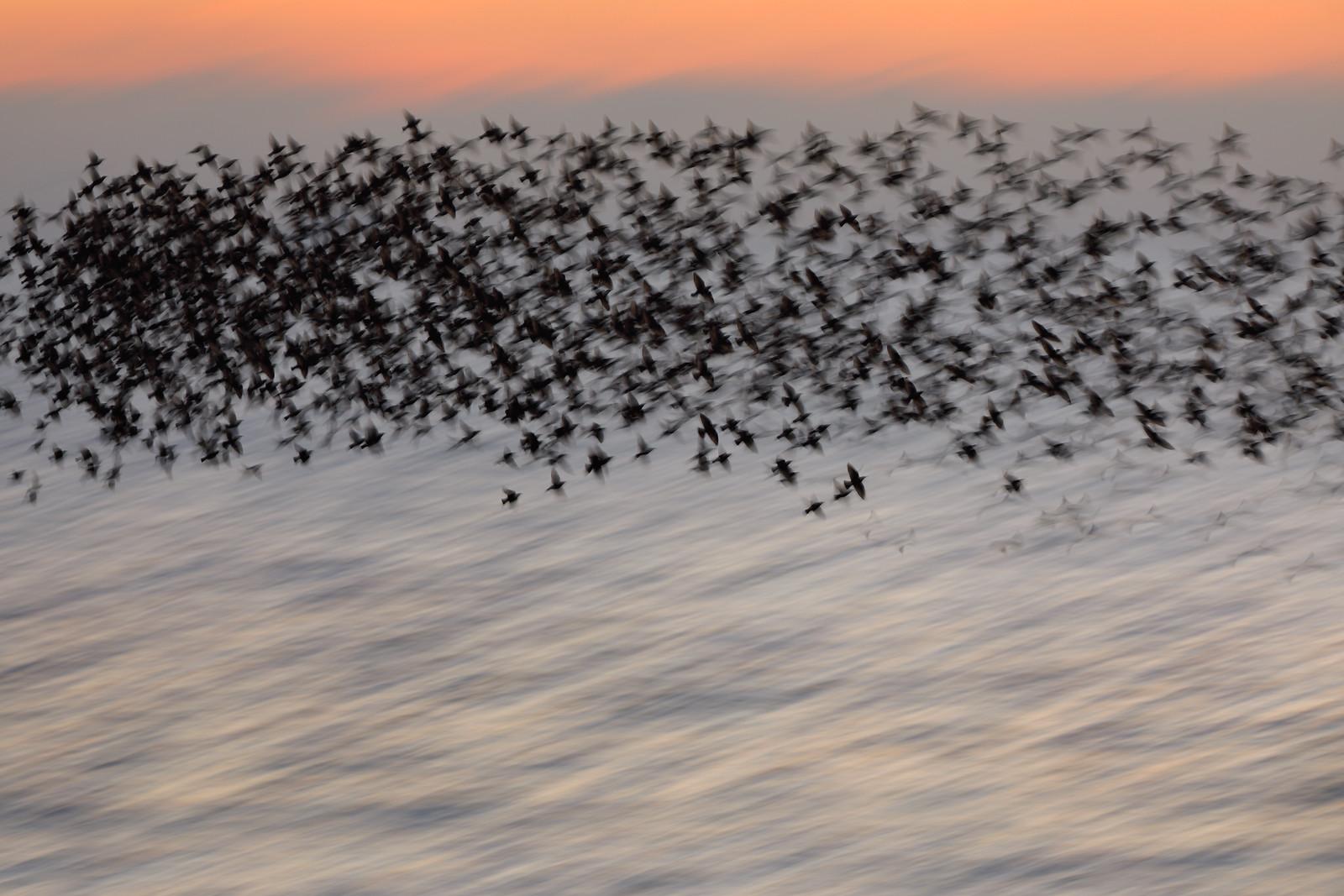 Long starling murmuration