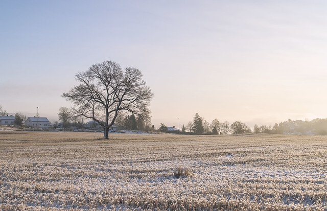 A lonely tree in a field during the winter