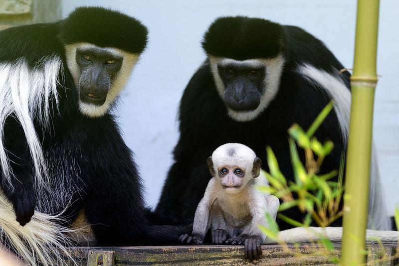 Baby_Colobus_Monkey_(9406528480)