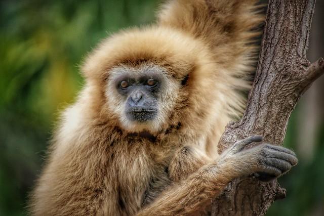 Gibbon...