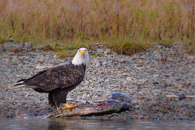 Bald eagle guarding