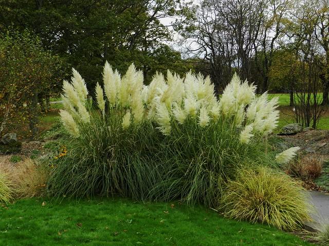Pampas Grass, Duthie Park, Aberdeen, Oct 2019