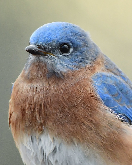 Bluebird portrait on Tennessee's Cumberland Plateu