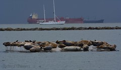 Harbor seals under cloud cover