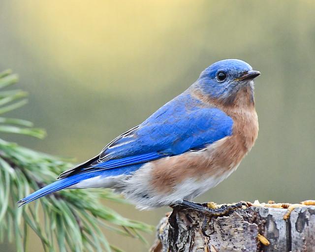 Bluebird on Tennessee's Cumberland Plateau at dusk