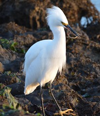 Snowy Egret with Bay pipefish