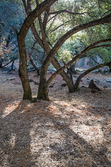 Oak Forest in Foothills of Sequoia National Park