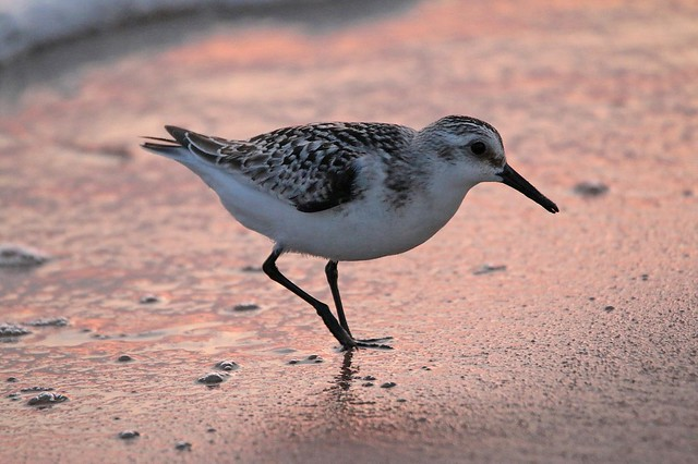 Early Morning Sandpiper