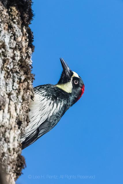 Acorn Woodpecker in Foothills of Sequoia National Park