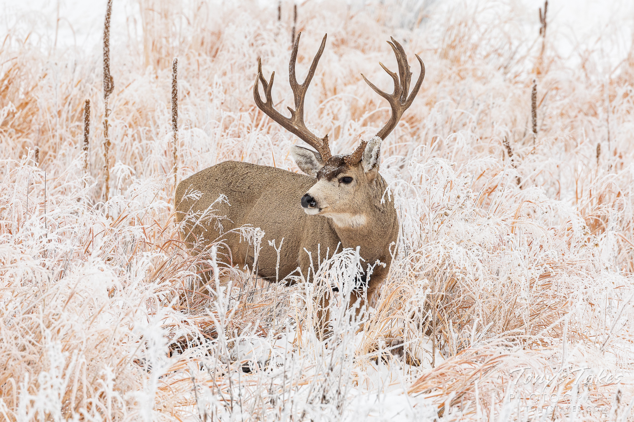 Big buck in the frosty landscape