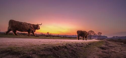 laren noordholland nederland schotsehooglander highlandcattle cffaa sunset