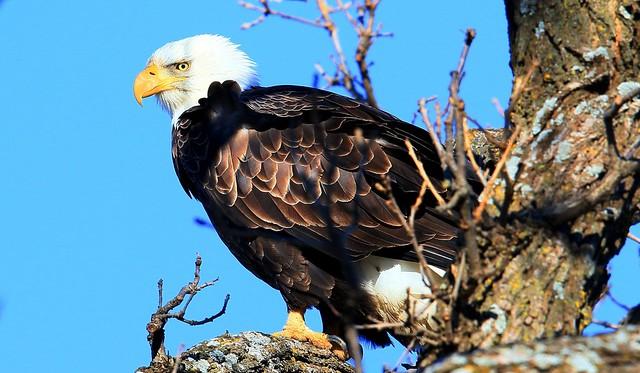 bald eagle near Ridgeway IA 653A9829